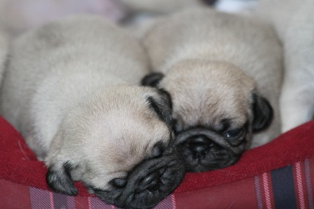 pug breeders mn pug puppies for sale pug puppies for sale in mn 122
