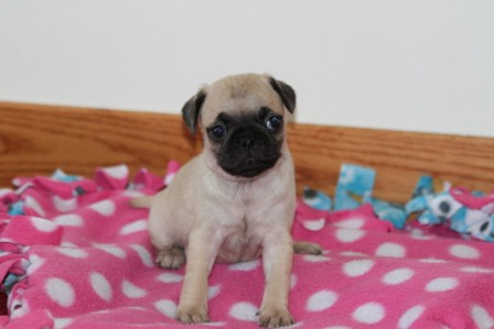 pug breeders mn pug puppies for sale pug puppies for sale in mn 4435
