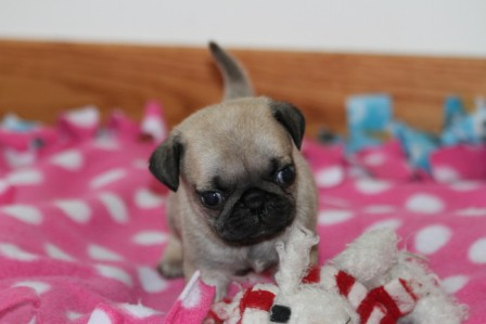 pug breeders mn pug puppies for sale pug puppies for sale in mn 9829