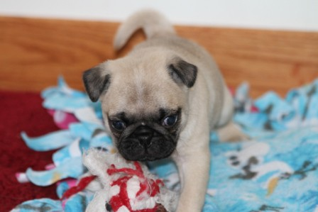 pug breeders mn pug puppies for sale pug puppies for sale in mn 1618