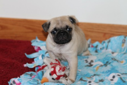 pug breeders mn pug puppies for sale pug puppies for sale in mn 2024
