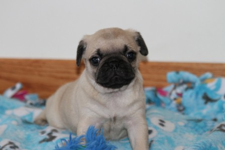 pug breeders mn pug puppies for sale pug puppies for sale in mn 6402