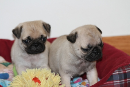 pug breeders mn pug puppies for sale pug puppies for sale in mn 3990