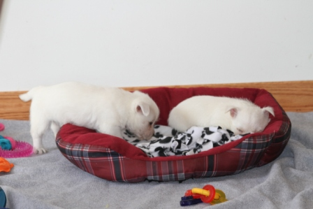 Westie Puppies for Sale, Westie Puppies for Sale MN
