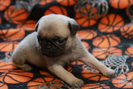 Pug Puppies for Sale, Pug Puppies for Sale in MN