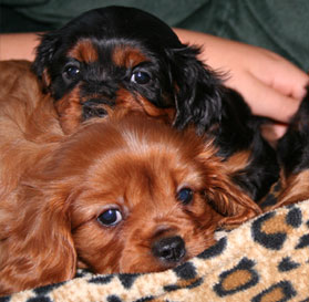 Puppy Paws 4 You Puppies For Sale Mn Puppies For Sale